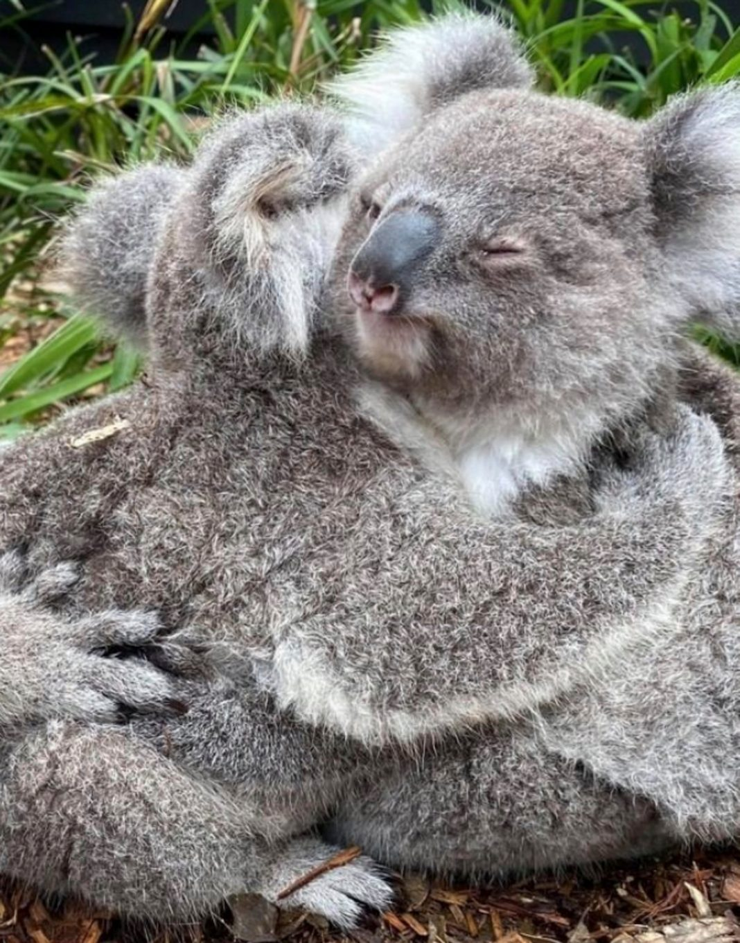 cuddly koalas share a heart warming hug in adorable snaps