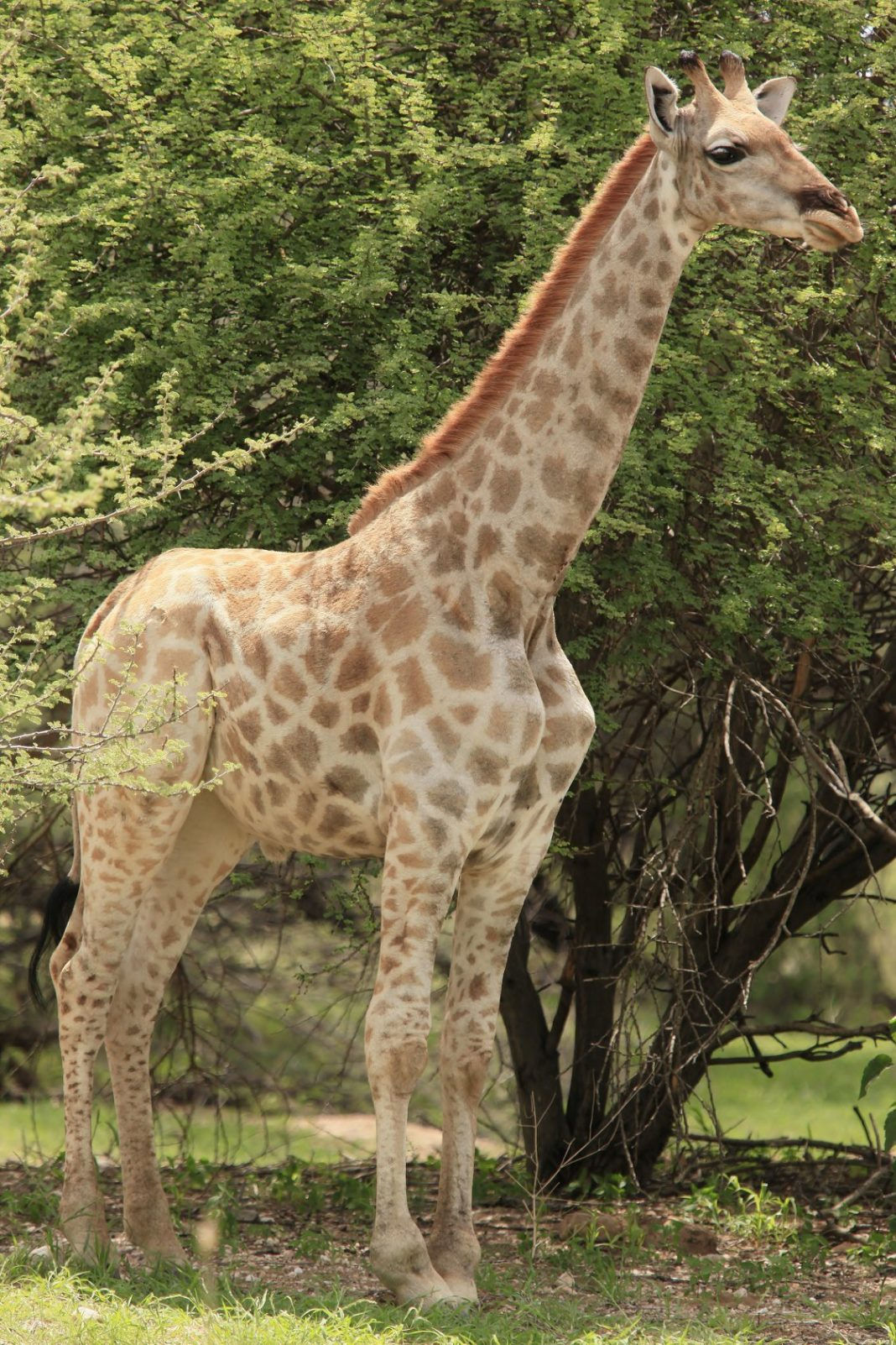 rare dwarf giraffe is just half the height of his 20ft full sized pal